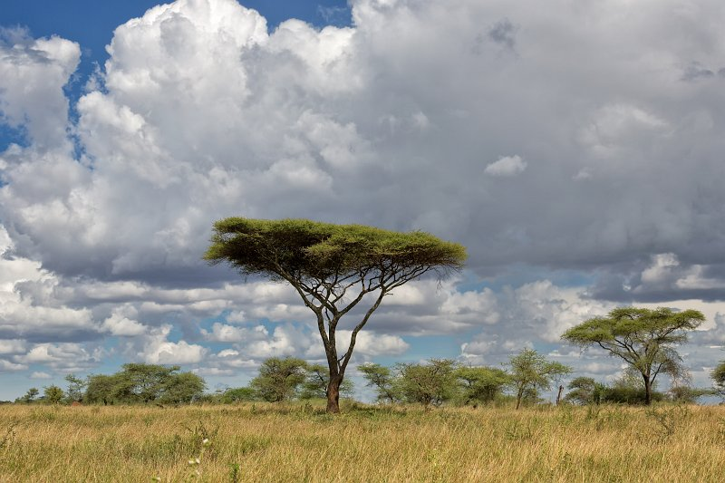 Serengeti National Park Tanzania Umbrella Thorn Acacia Tree